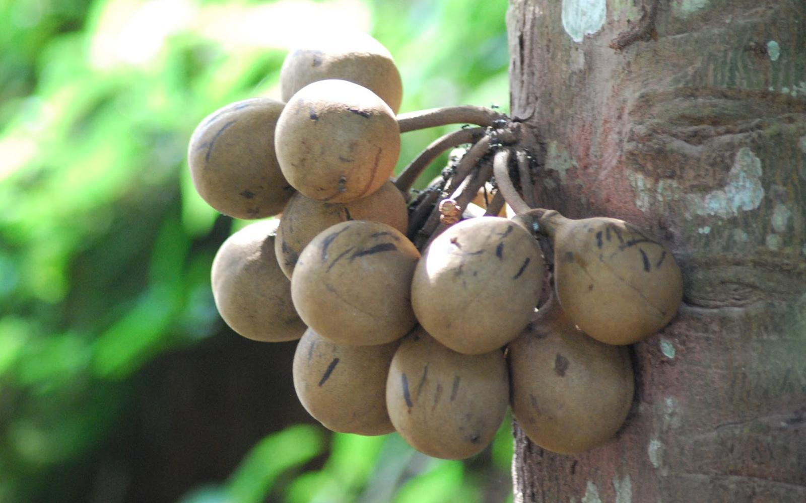 Buah kepel | Foto: dwpdjbc.blogspot.com