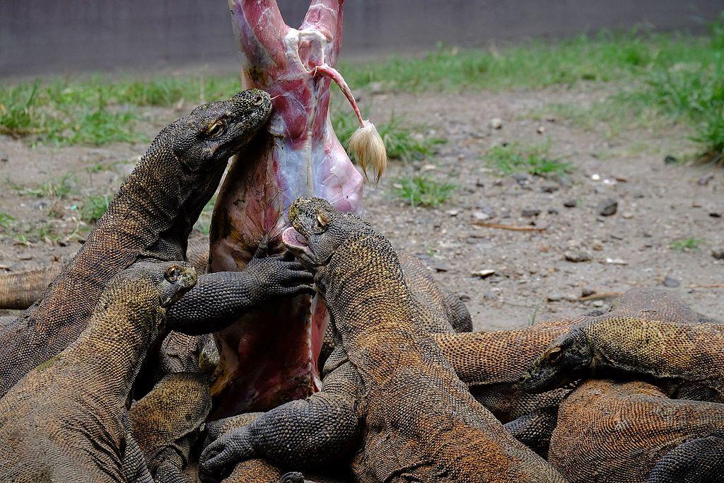 Komodo makan bareng