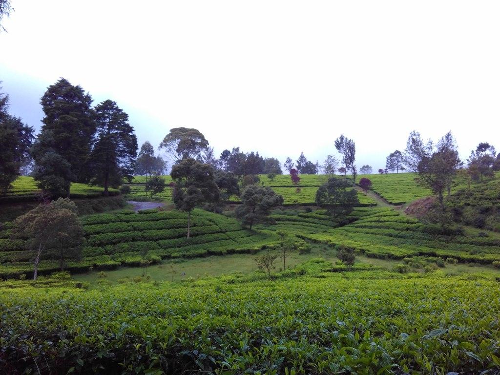 Perkebunan teh sepanjang perjalanan menuju Situ Cisanti, Sumber: Dok. Pribadi