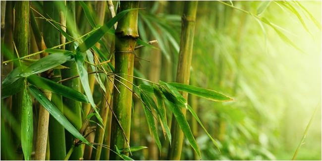 Pohon Bambu