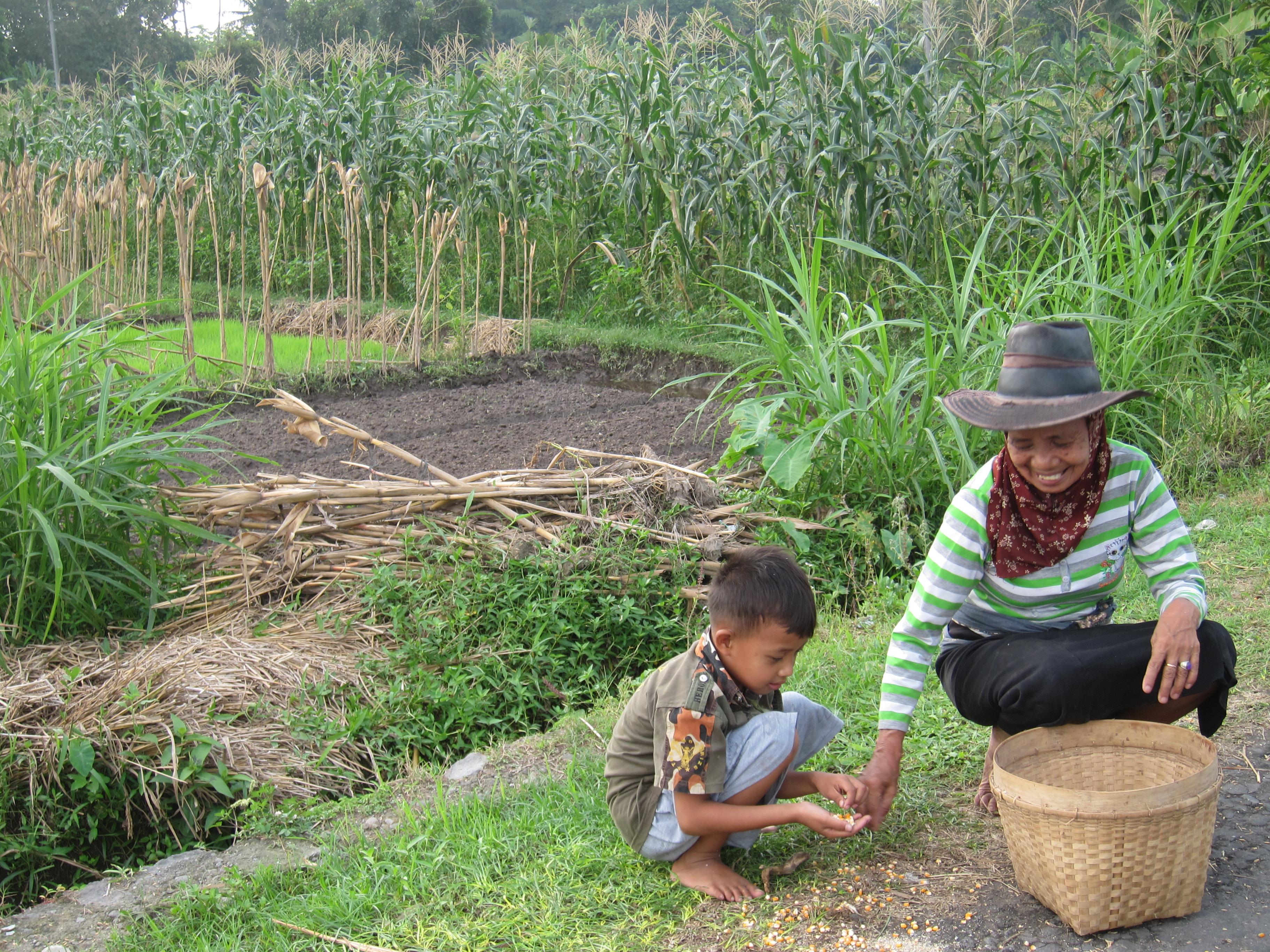 Perempuan yang memunguti biji jagung dengan bocah lelaki cilik saat musim panen di Desa Banyurejo, Kecamatan Tempel, Yogyakarta