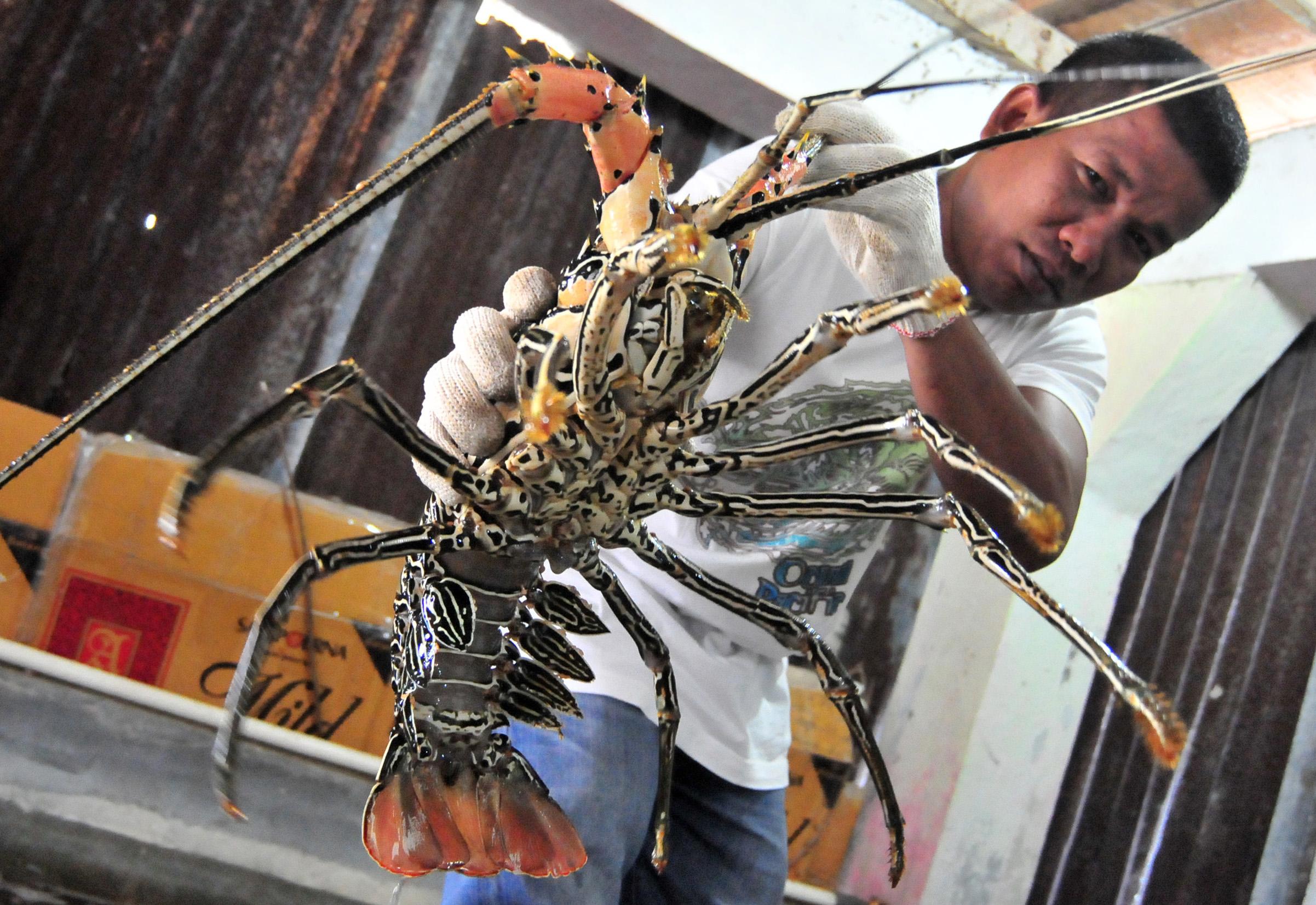 (Lobster/jurnalasia.com)