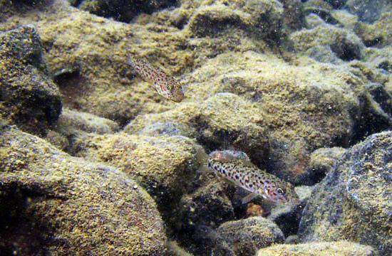 Ikan purba Butini (Glossogobius Matanensis) (foto: aqualifestyle-france.com)