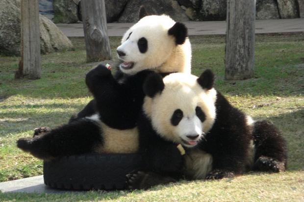 Panda, salah satu alat Tiongkok dalam berdiplomasi | Sumber: nowiknow.com