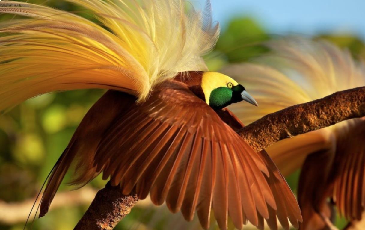 Burung Cendrawasih | Sumber: hargaburung.id