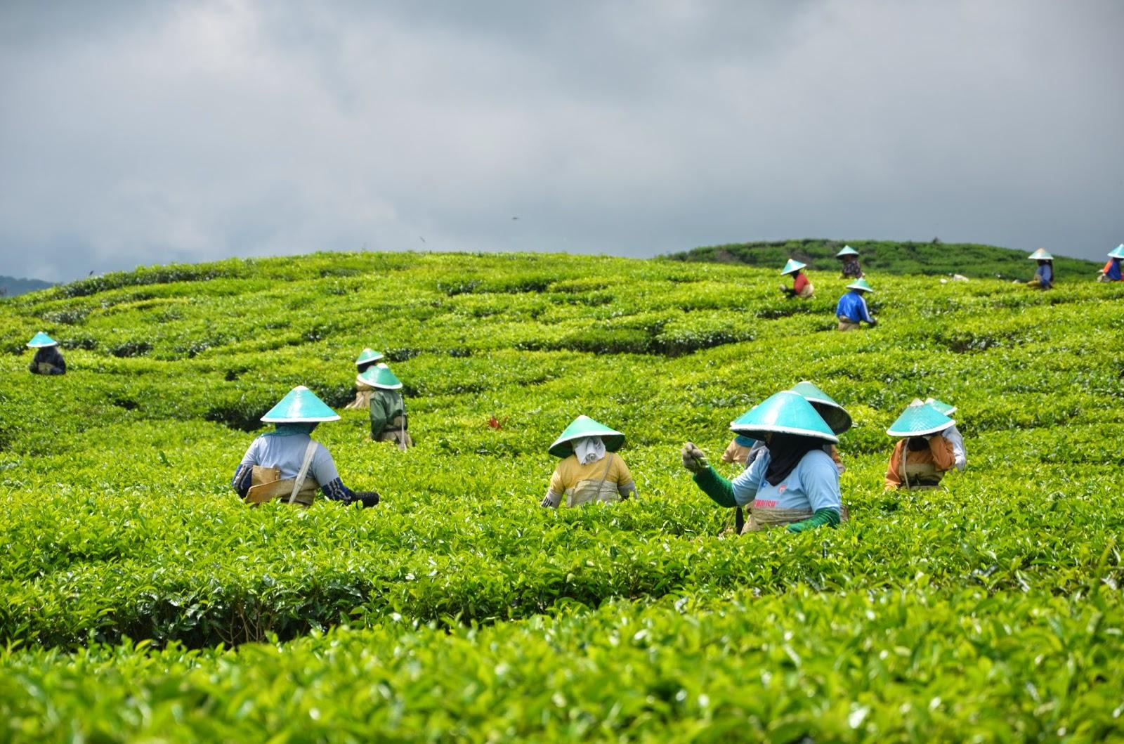 Proses pemetikan dauh teh di Kayu Aro   Sumber: indonesia-tourism.com