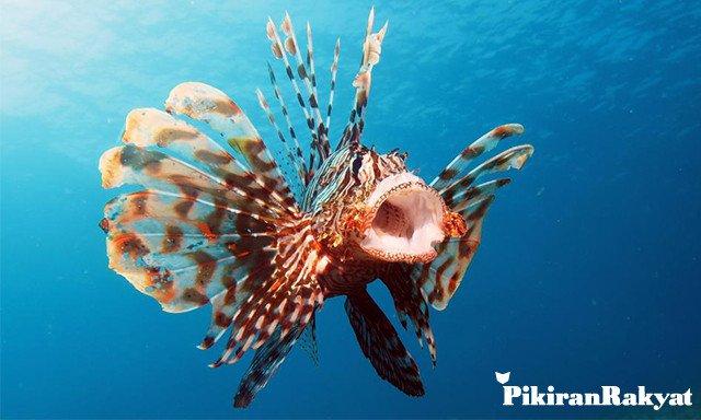 Ikan lionfish. Foto: Pikiran Rakyat