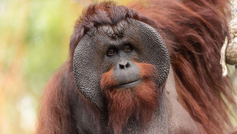 TN Sebangau merupakan habitat asli orangutan