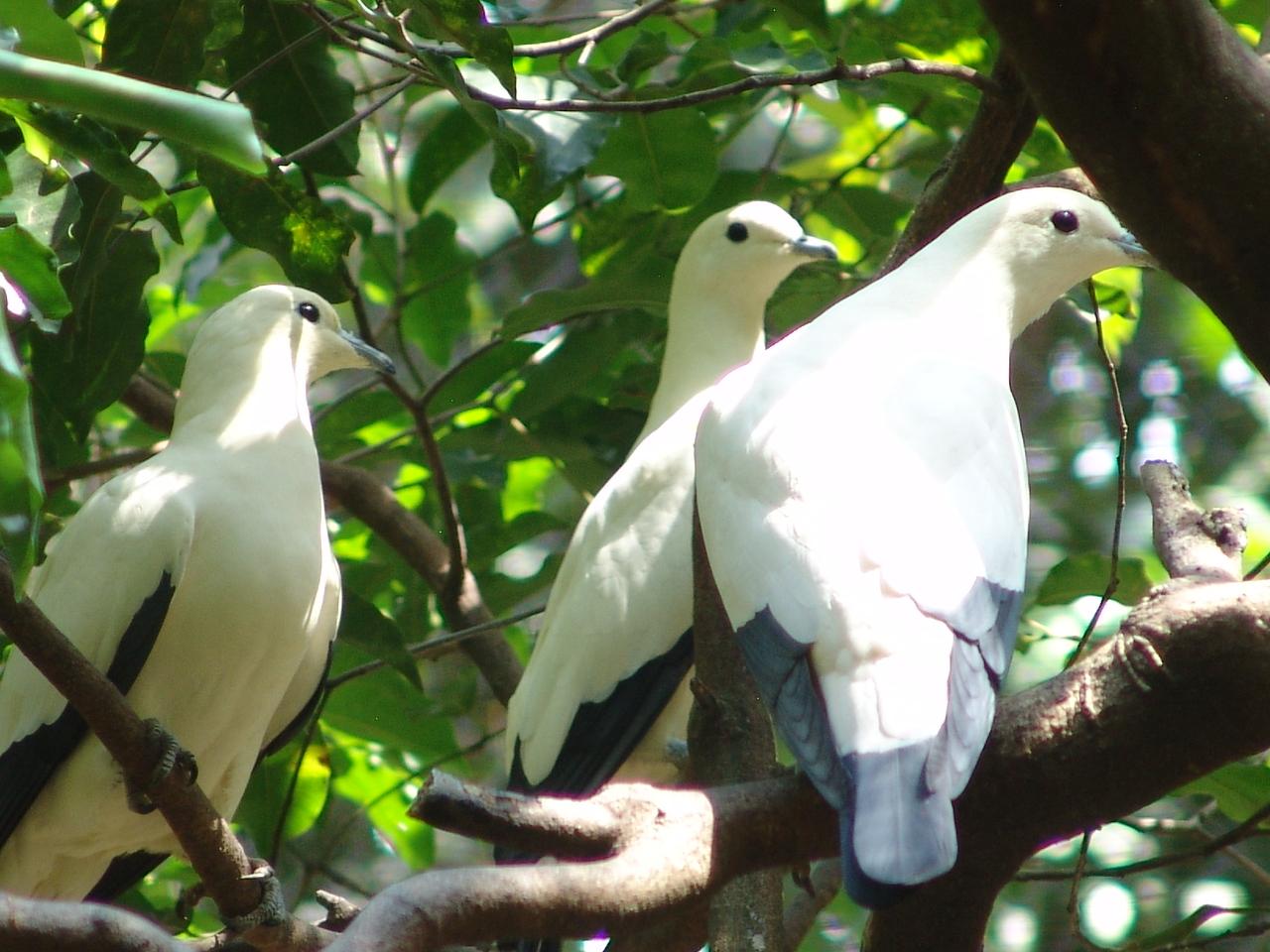 Burung Pombo