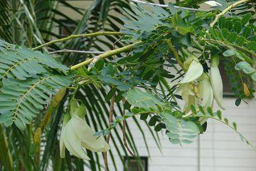 Pohon Bunga Turi | Sumber: Felix Amanda/Bobo.grid.id