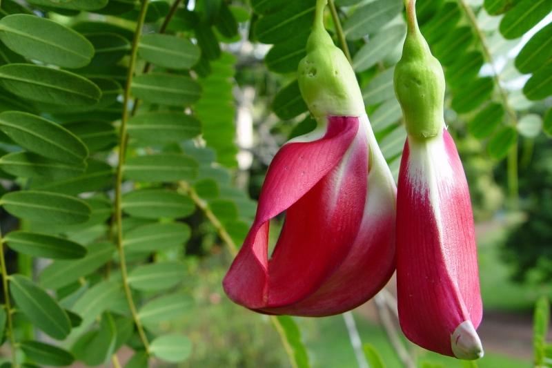 Bunga Turi Merah | Sumber: Istimewa
