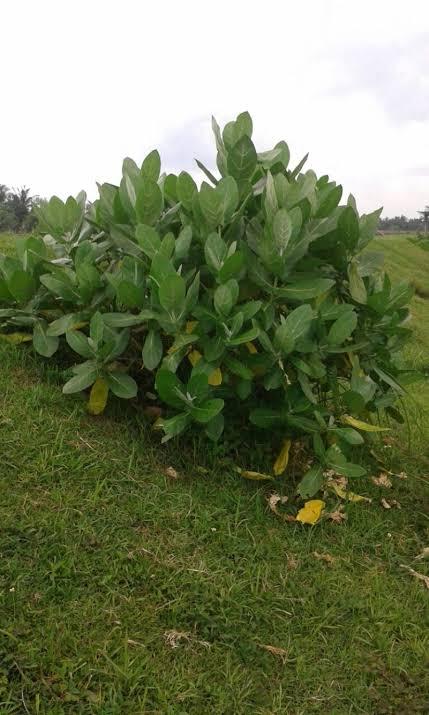 Pohon Widuri   Foto: organicvolunteer.com
