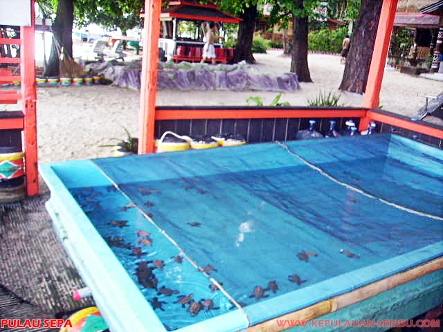 Penangkaran Penyu Sisik Pulau Sepa Wisata Pulau Seribu