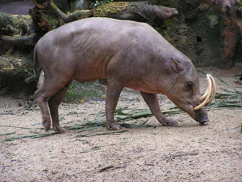 Babirusa, spesies babi liar endemik Pulau Sulawesi © Masteraah / CC BY-SA 2.0 de