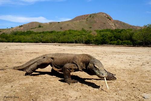Komodo dengan alam sekitar yang menakjubkan