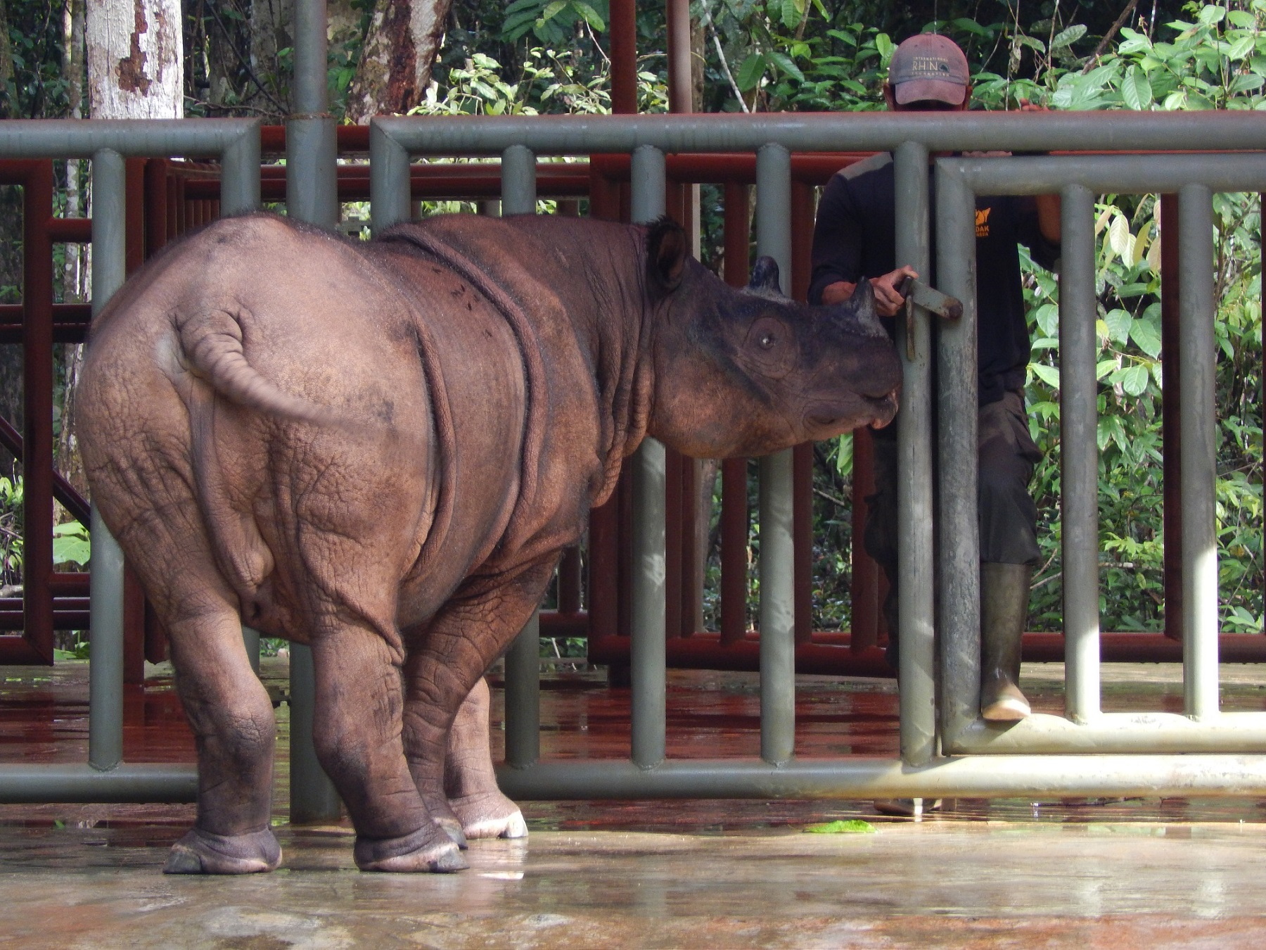 Individu Badak Sumatra di Suaka Rhino Sumatra (SRS)