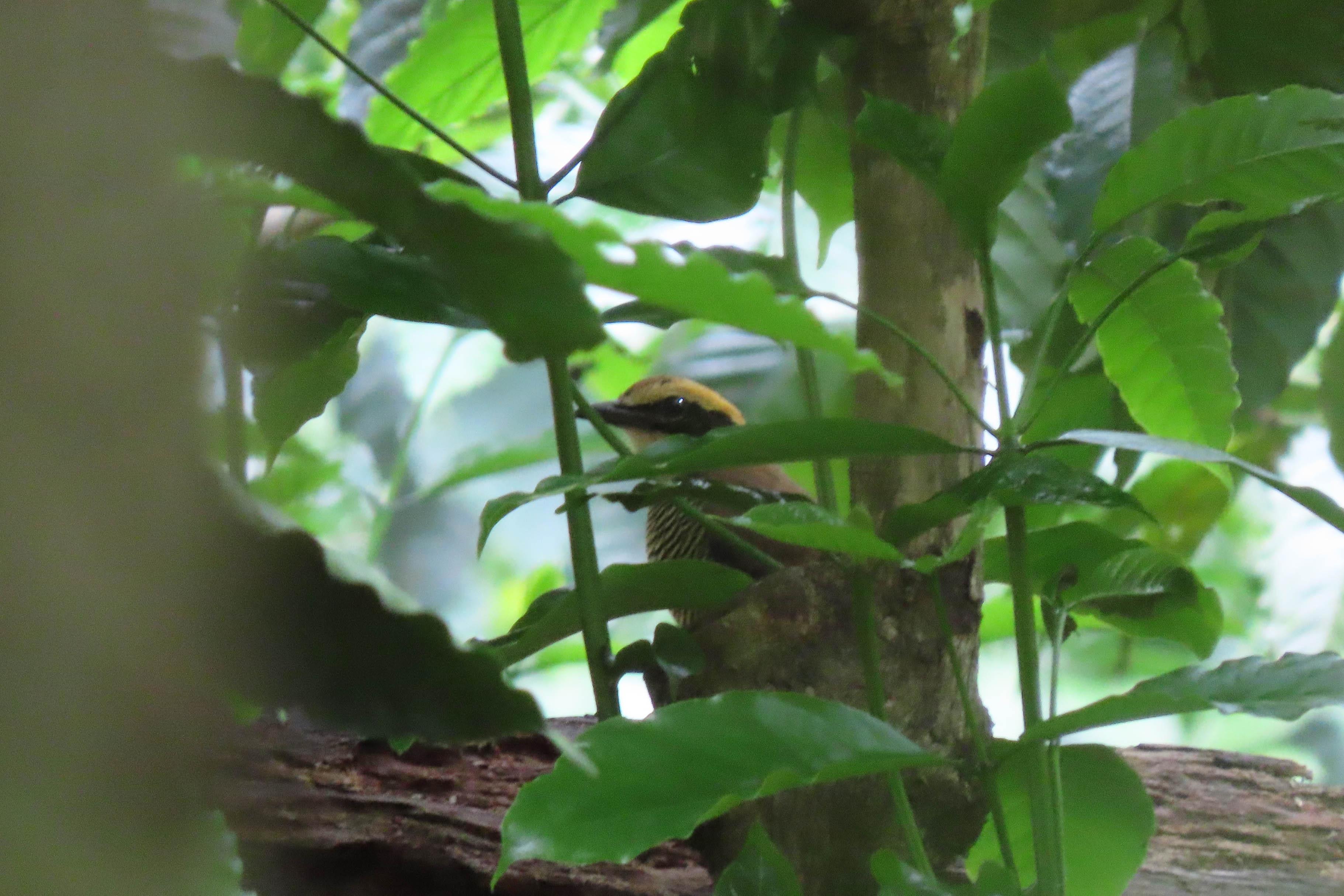 Paok pancawarna (Hydrornis guajana) menelisik untuk mencari mangsa di atas tanah. Paok pancawarna menjadi salah satu burung yang dilindungi oleh pemerintah. Yopi Haryandi