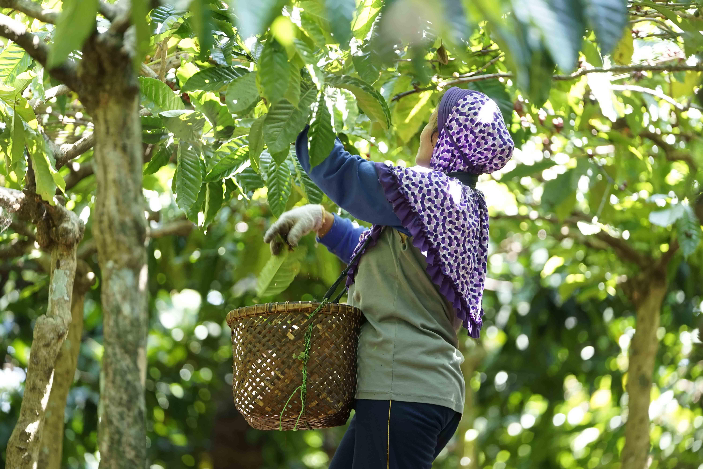 Petani kopi memetik buah yang sudah masak dengan cepat dan teliti untuk kemudian dijual ke tengkulak atau diproduksi sendiri. Salahuddin Halim