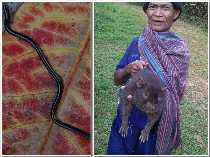 Ular buta dan tikus raksasa endemi Flores | Facebook Samuel Rabenak