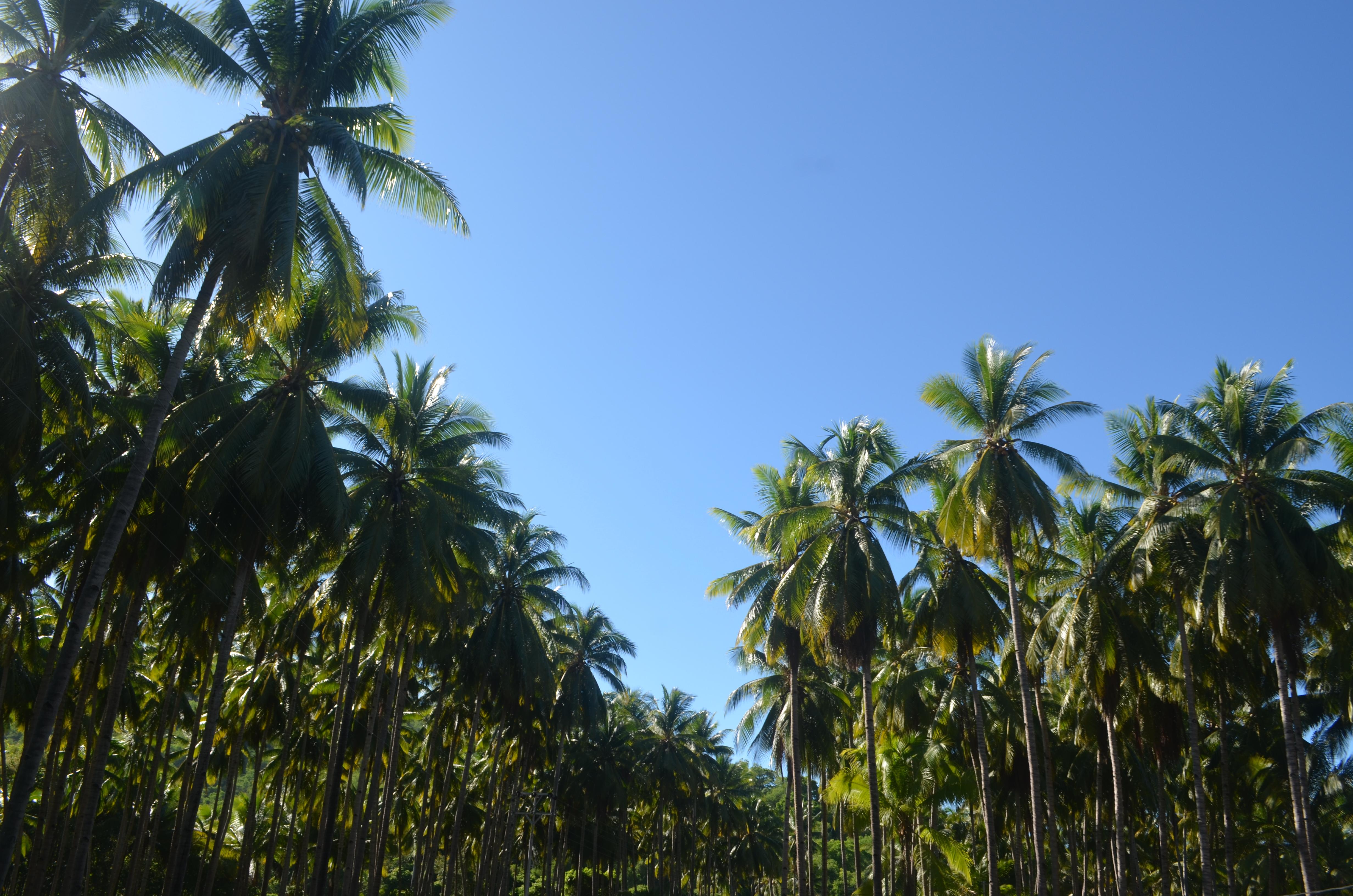 perkebunan kelapa milik warga
