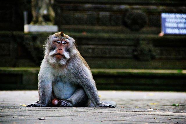 Kera ekor panjang di Mandala Suci Wenara Wana, Bali.