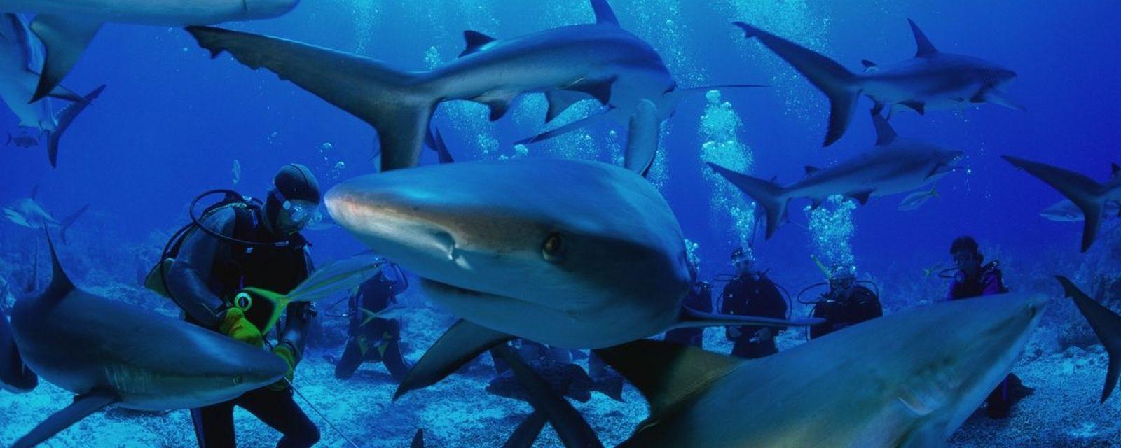 Uji nyali diving bersama hiu di Teluk Belongas | Foto: superadventure.id