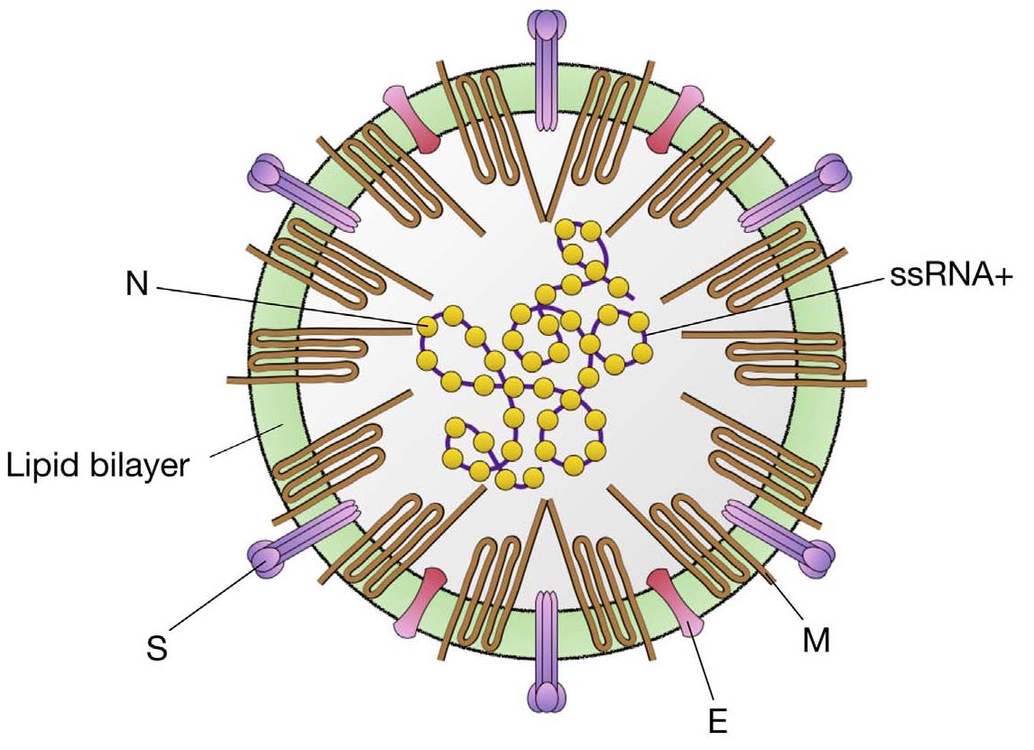 Ilustrasi lipid bilayer pada virus   Foto: tridayavaruna.com