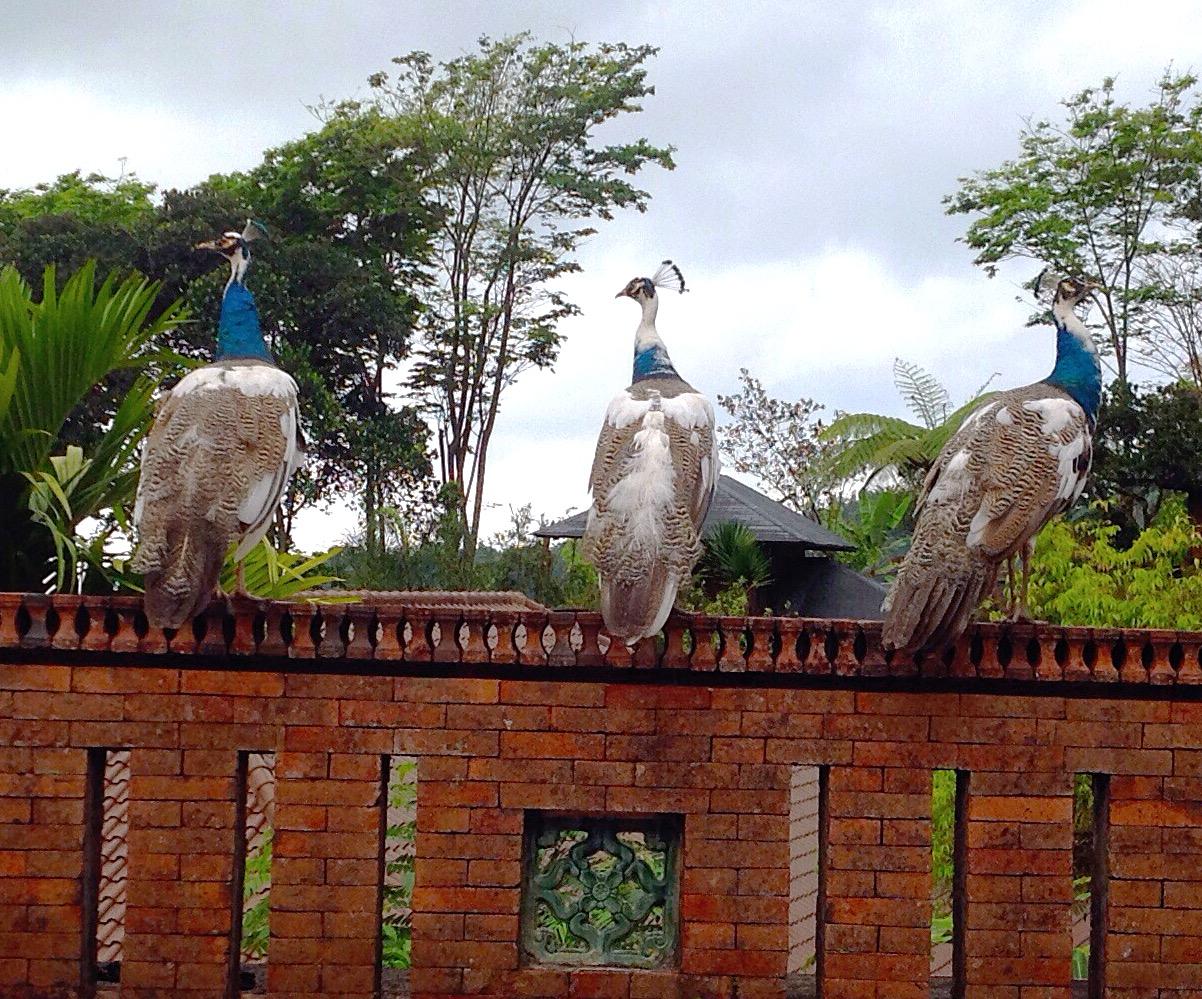 Tiga burung merak di dinding