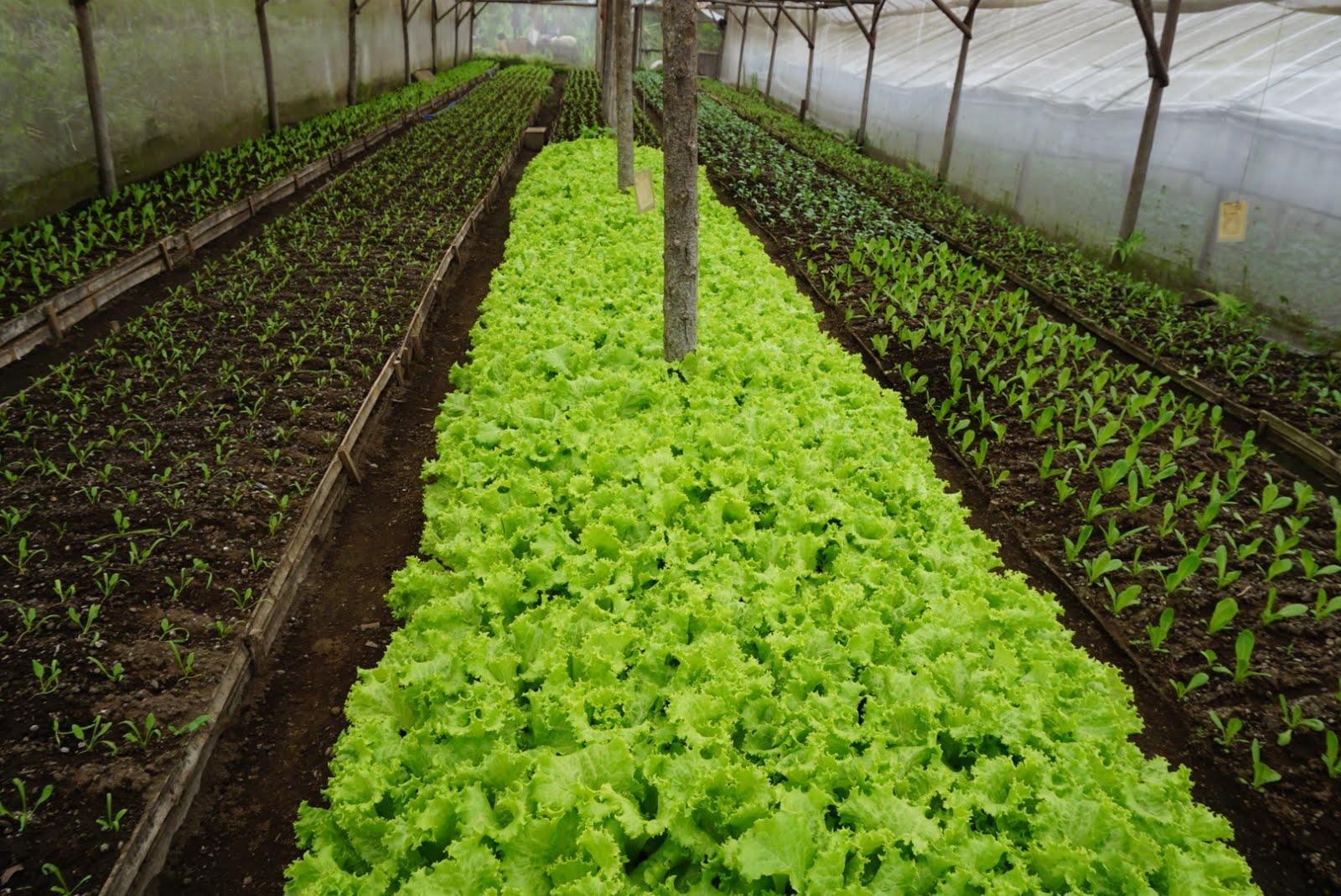 Kebun tanaman organik