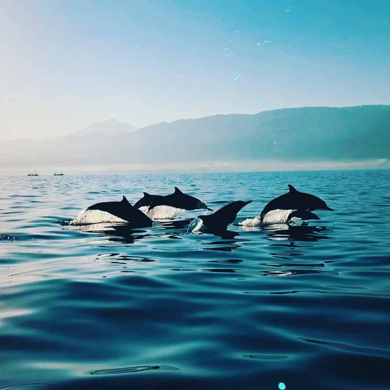 Lumba-lumba di perarian Pantai Lovina Bali | Foto : Blog Kulo