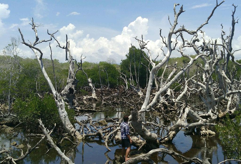 Hutan bakau mati Landotie, tak jauh dari dermaga menuju Pulau Landu